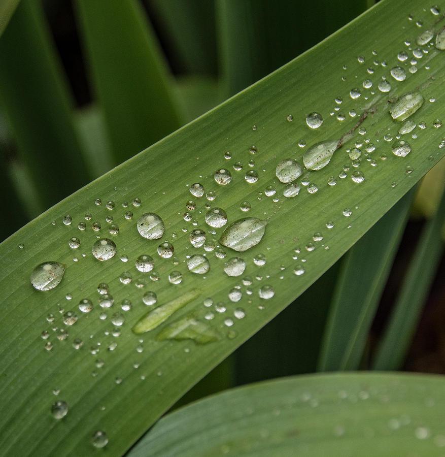 Iris Photograph - Dew Drops On Leaf by Jean Noren