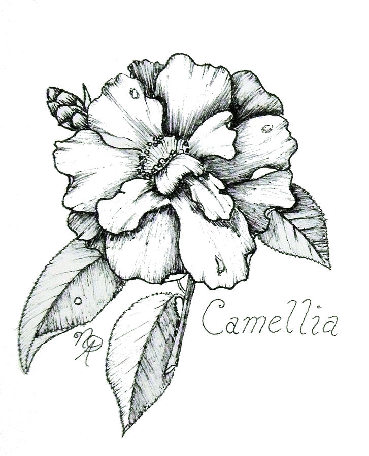 Camellia Drawing - Dew Kissed Camellia by Nicole Angell