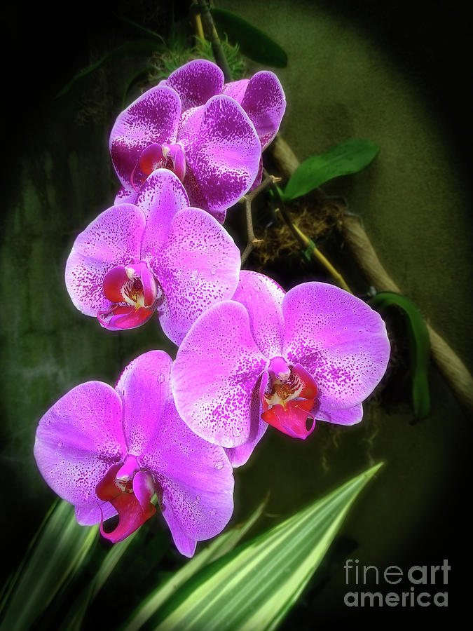 Dew-Kissed Moth Orchids by Sue Melvin