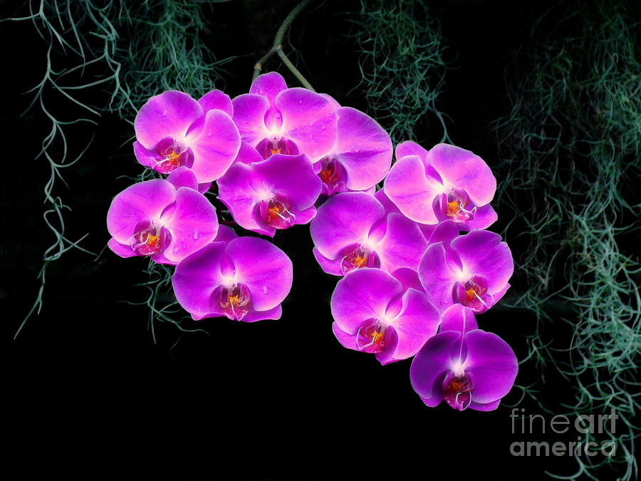 Orchid Photograph - Dew-kissed Orchids by Sue Melvin