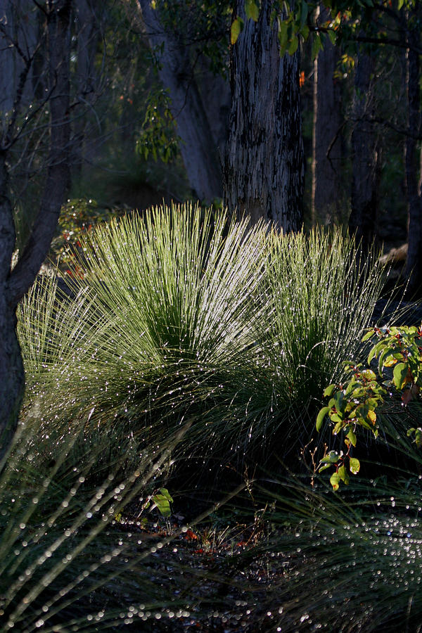 Plant Photograph - Dew On A Grass Tree by Tony Brown