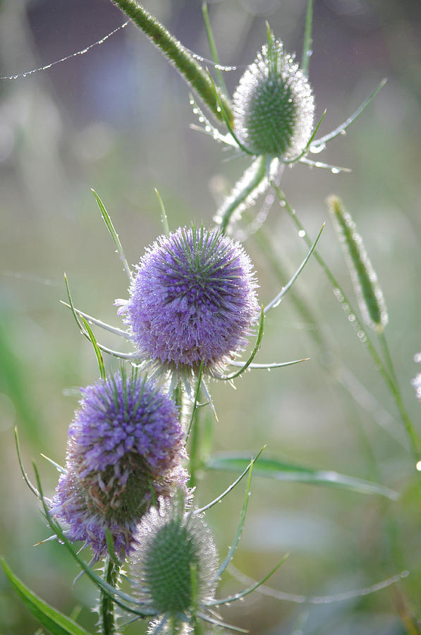 Thistles Photograph - Dew On Thistles 2 by Merrill Miller