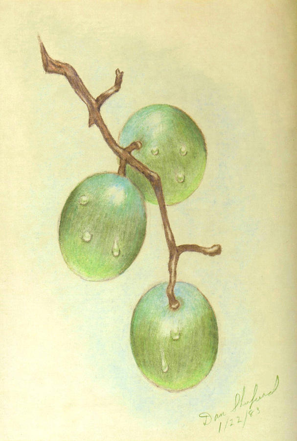 Grapes Drawing - Dew On White Grapes by Daniel Shuford