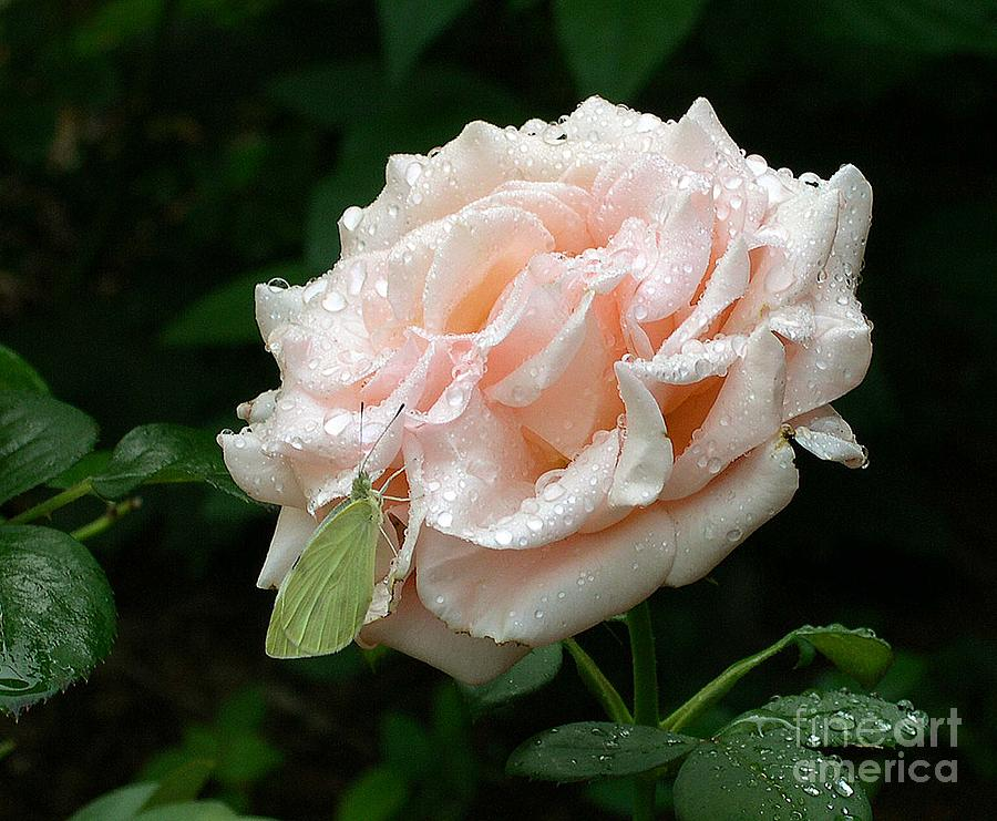 Rose Photograph - Dewdrops On A Rose by Addie Hocynec