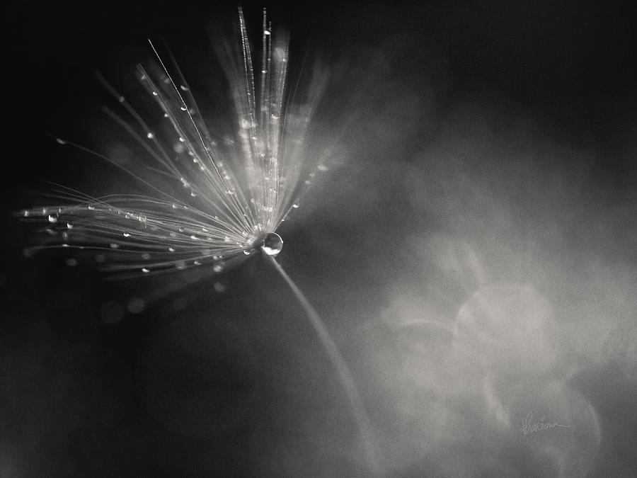 Backdrop Photograph - Dewy Dandelion Fireworks by Kharisma Sommers