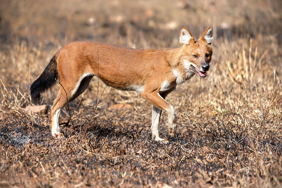 Animal Photograph - Dhole In The Wild by Pravine Chester