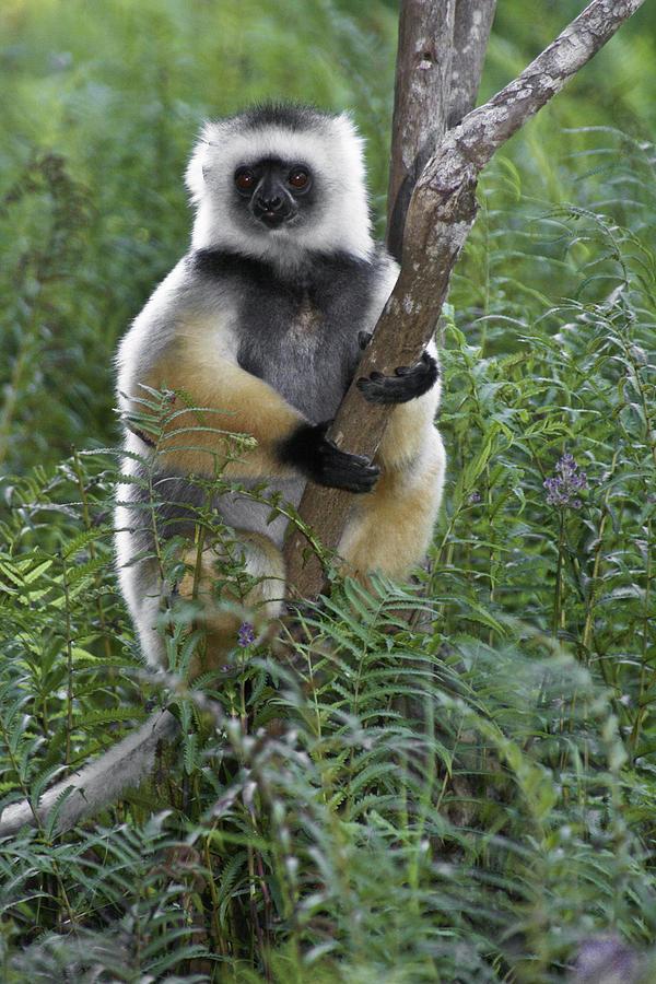 Madagascar Photograph - Diademed Sifaka by Michele Burgess