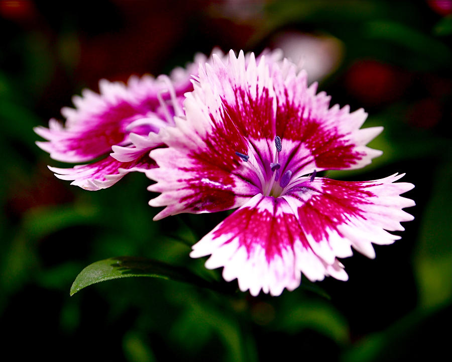 Sweet William Photograph - Dianthus by Rona Black