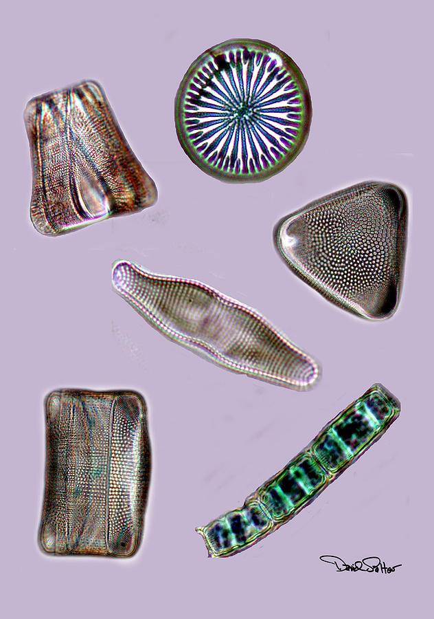 Diatom Photograph - Diatoms by David Salter
