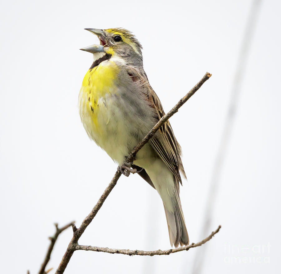 Canon Photograph - Dickcissel  by Ricky L Jones