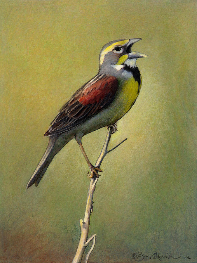 Birds Drawing - Dickcissel Summer Song by Bruce Morrison