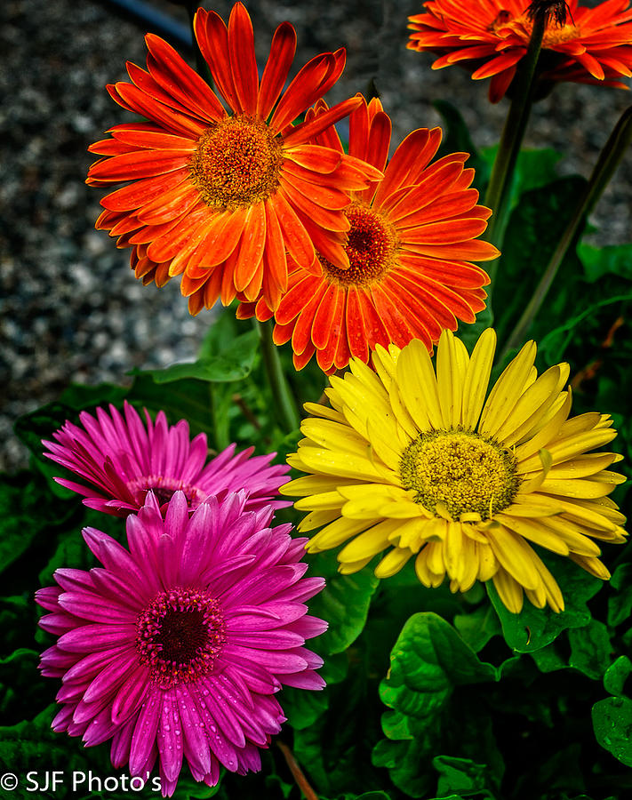 Canon 5dmk3 Photograph - Did You Want Colors Or Flowers by Steve Fisher