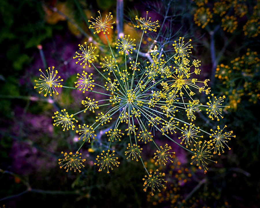 Dill Photograph - Dill Going To Seed by Bill Swartwout Fine Art Photography