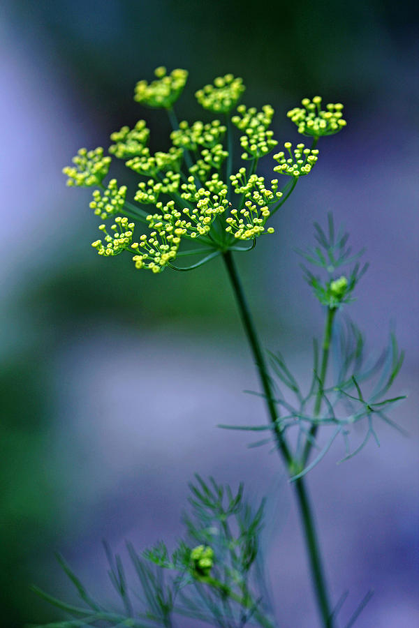 Dill Photograph - Dill Sprig by Debbie Oppermann