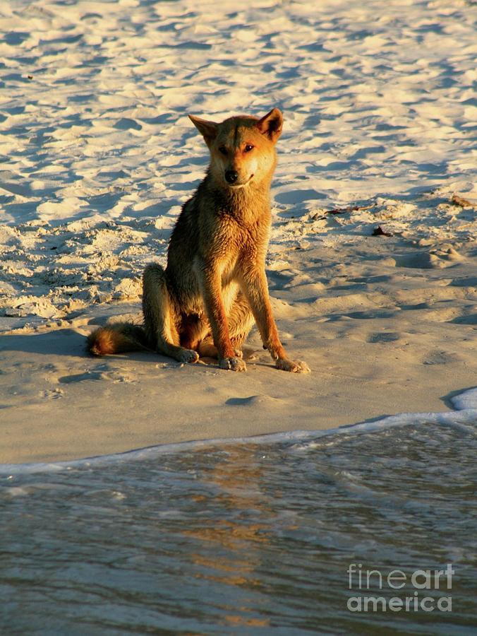 Dingo On The Beach Photograph by Gregory E Dean