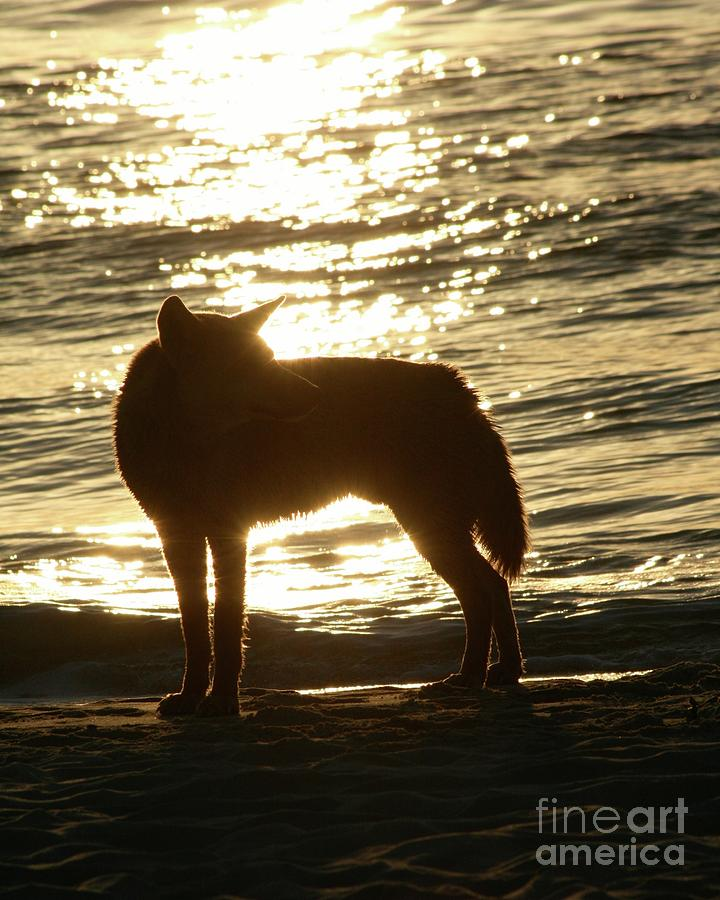 Dingo Sunset Photograph by Gregory E Dean
