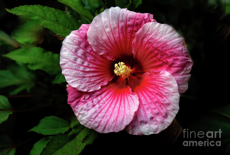 Hibiscus Photograph - Dinner Plate Hibiscus by Robert Bales & Dinner Plate Hibiscus Photograph by Robert Bales