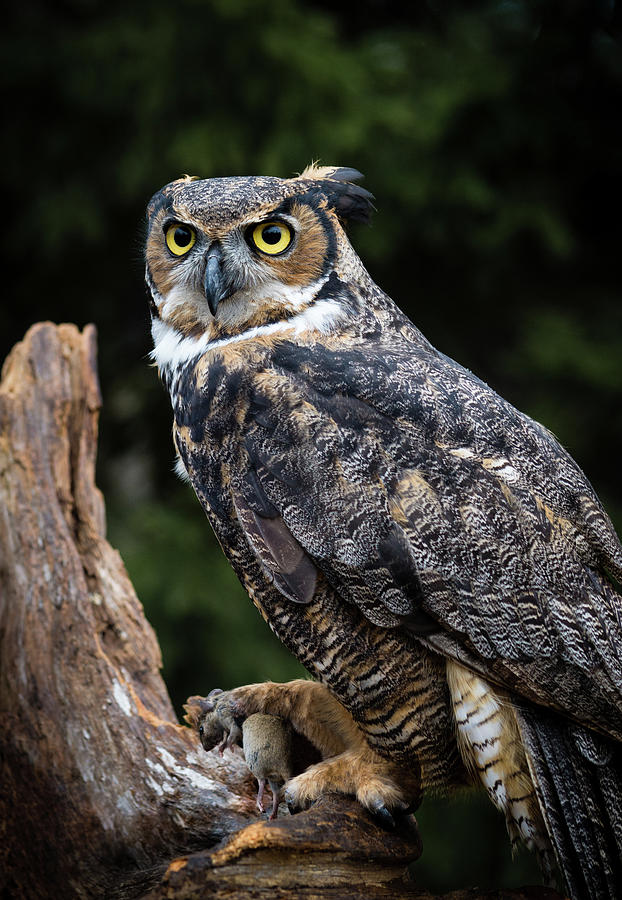Great Horned Owl Photograph - Dinner Time by Tracy Munson