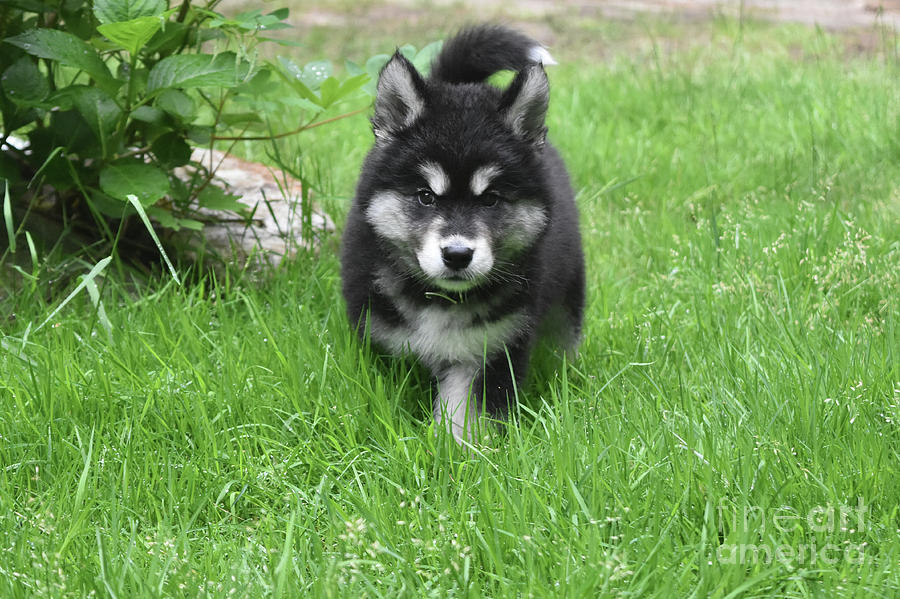 Dog Photograph - Dinstinctive Black And White Markings On An Alusky Pup by DejaVu Designs
