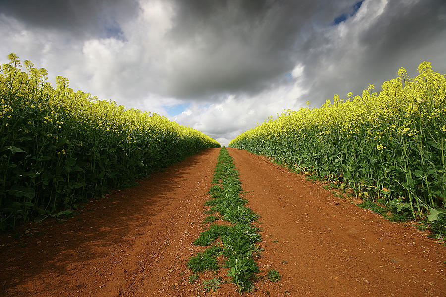 Dirt Photograph - Dirt Track Through Red Soil In A Rapeseed Flower Field by Mark Stokes