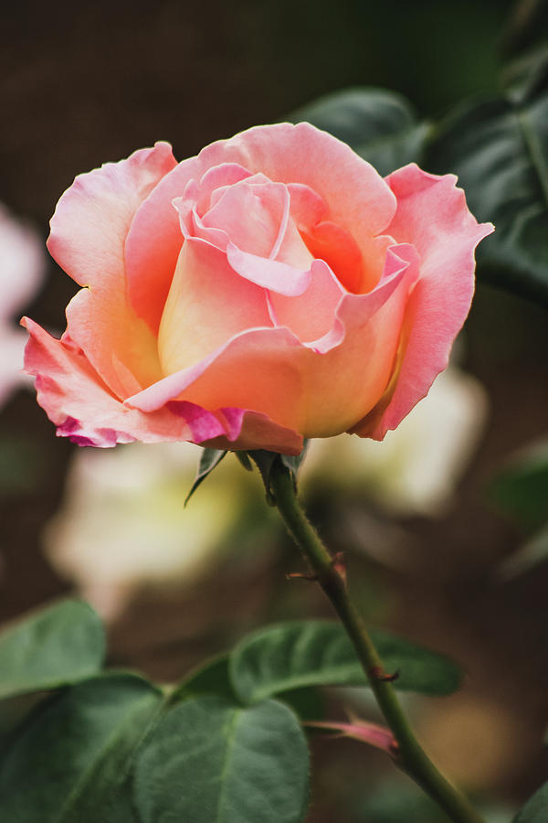 Rose Photograph - Distance by Roxanne MacDonald