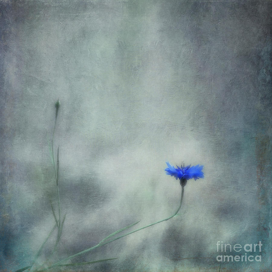 Cornflower Photograph - Diverge by Priska Wettstein
