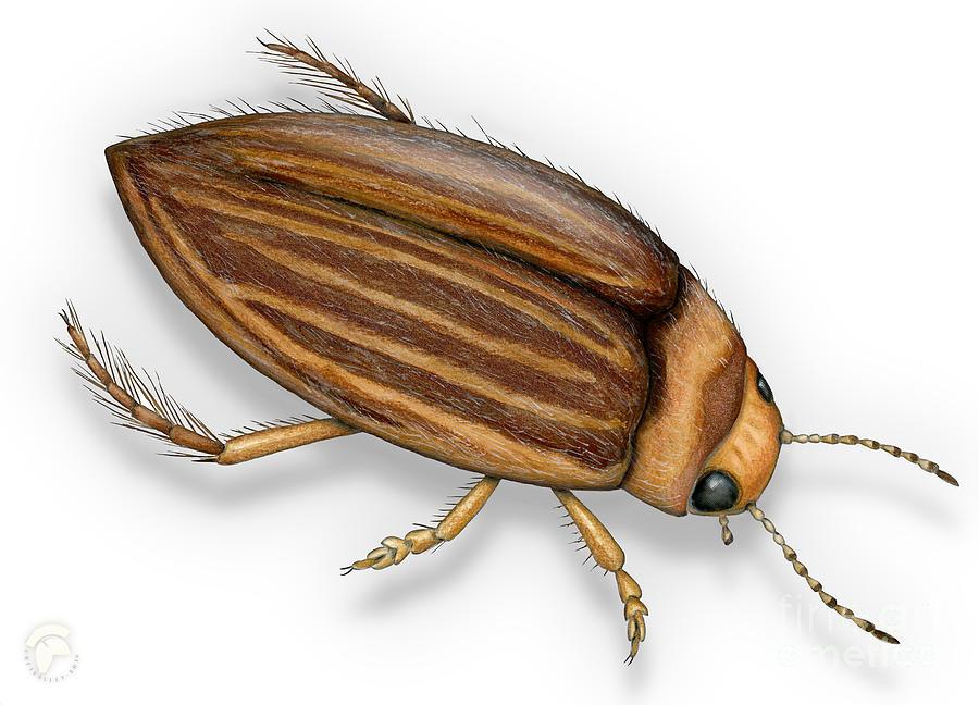 Diving Beetle Porhydrus Lineatus - Schwimmkaefer - Waterroofkever Painting