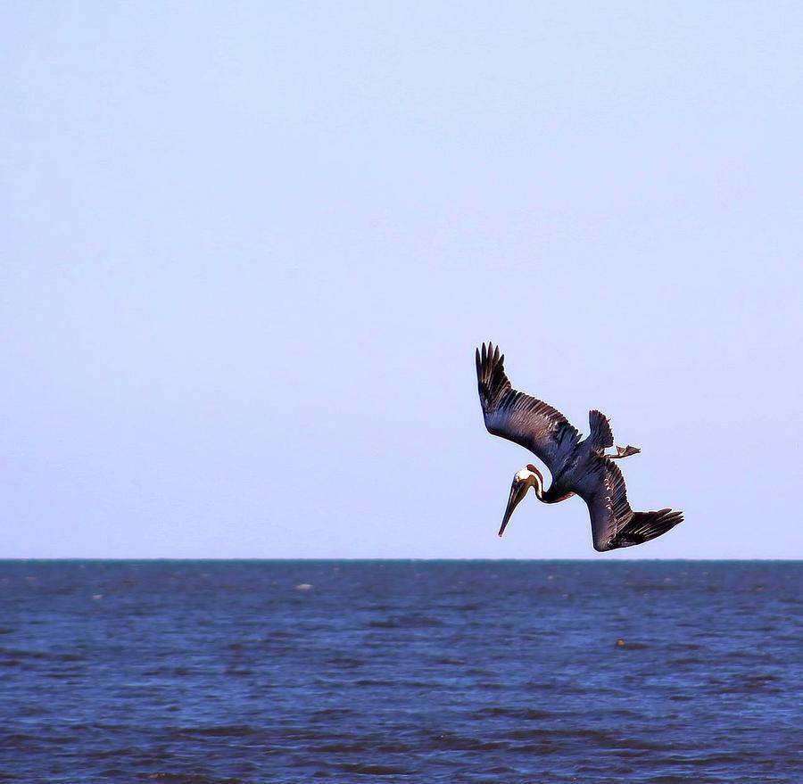 Bird Photograph - Diving For Dinner by Annette Allman