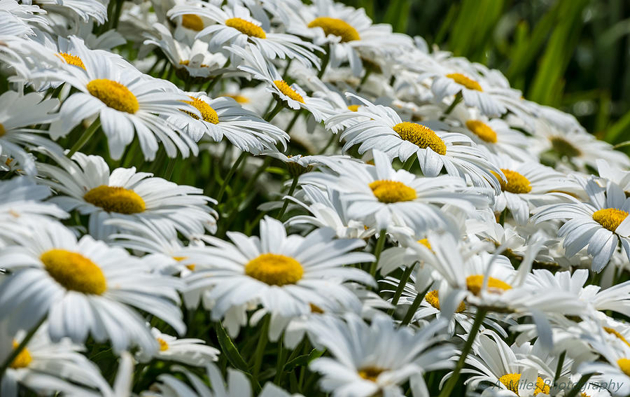 Day Photograph - Dizzy With Daisies by Andrew Miles