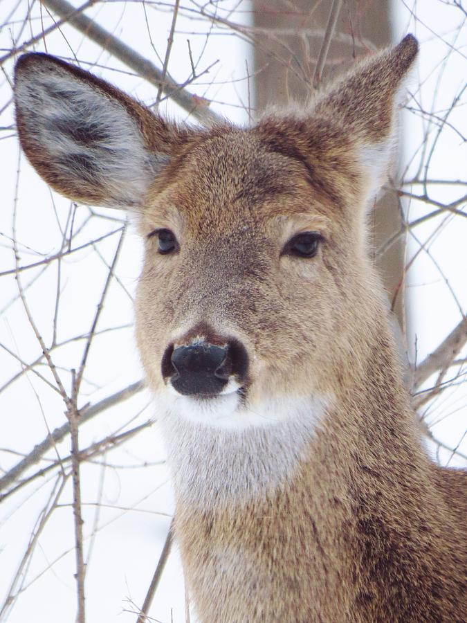 Deer Photograph - Do You Hear What I Hear? by Lori Frisch