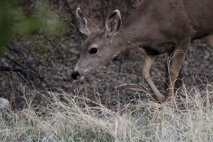 Deer Photograph - Doe Carefully Grazing In Tombstone by Colleen Cornelius