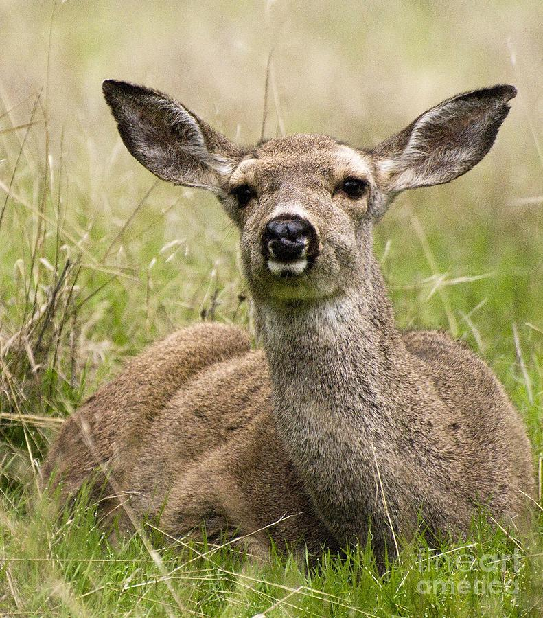 Deer Photograph - Doe Eyes by Norman Andrus