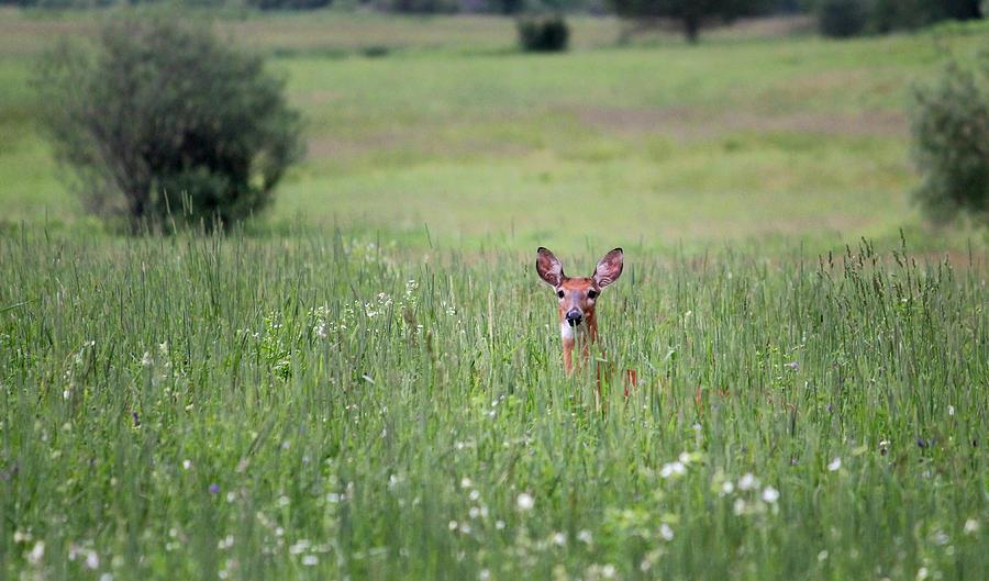 Doe Photograph - Doe In Grass by Brook Burling