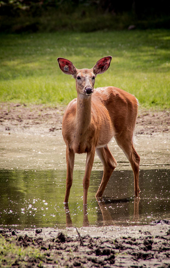Doe in Pond by Shannon Kunkle