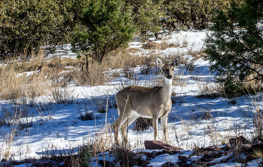 Doe In The Snow Photograph