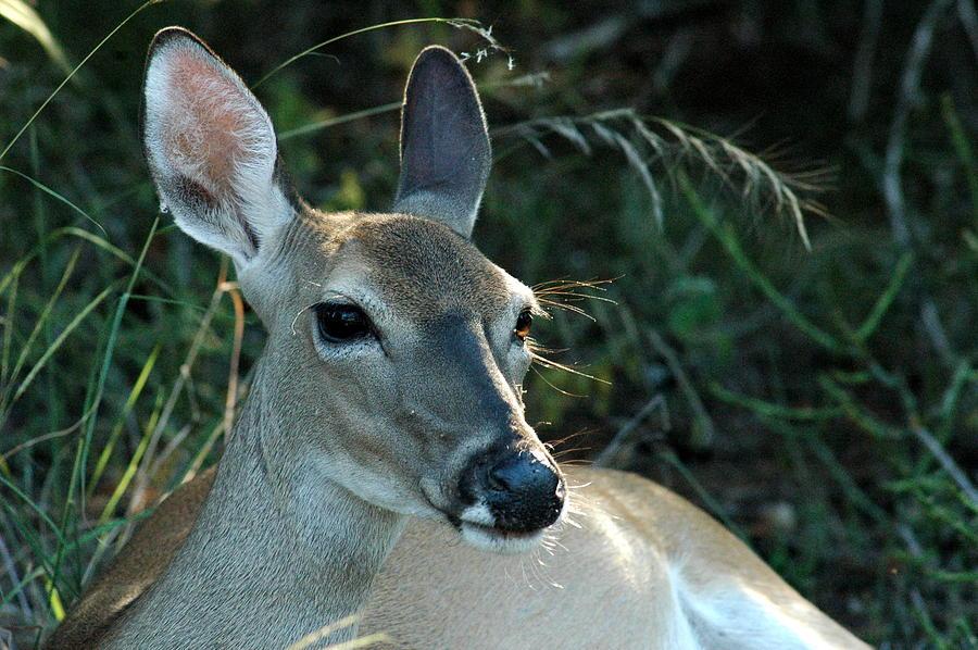 Deer Photograph - Doe Watching by Teresa Blanton