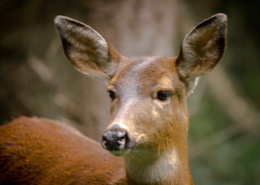 Doe Photograph - Doe With A Blaze by Penny Miller