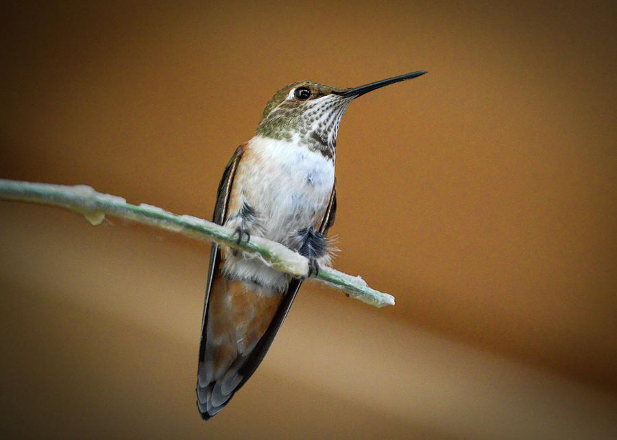 Hummingbird Photograph - Sitting Pretty by Joy McAdams