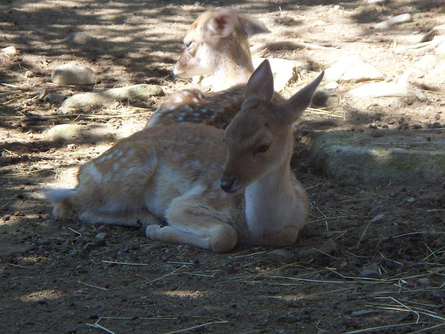 Doe Photograph - Does Resting by Rosanne Bartlett