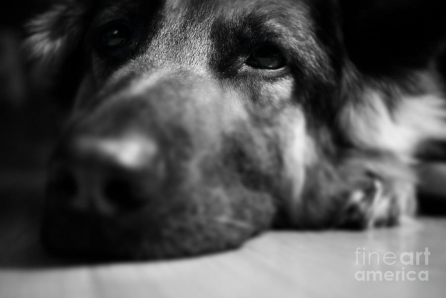 Dog Eyes Always Watching Photograph