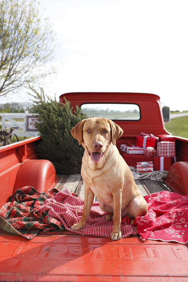 Animal Photograph - Dog In Truck Bed With Pine Tree Outdoors by Gillham Studios