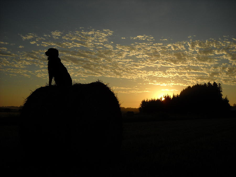 Dog on Hay Greeting Sunrise by Kent Lorentzen