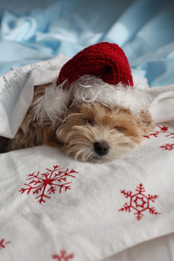 Animal Photograph - Dog Sleeping In Bed With Santa Hat by Gillham Studios