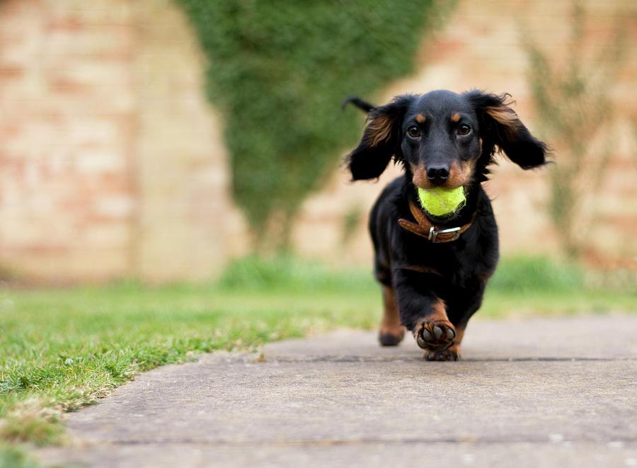 Horizontal Photograph - Dog With Ball by Ian Payne