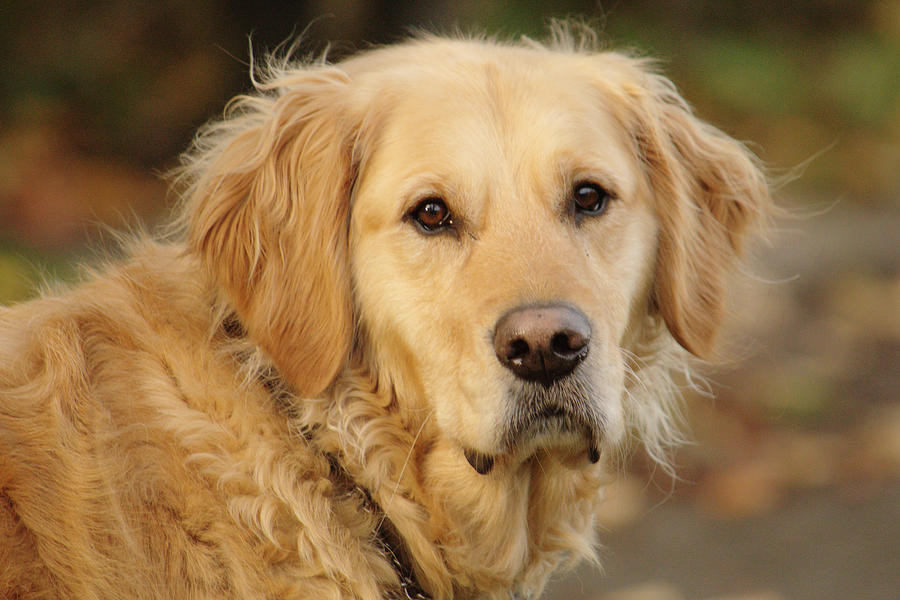 Dog With Dark Brown Eyes by Adrian Wale