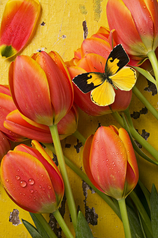 Butterfly Photograph - Dogface Butterfly And Tulips by Garry Gay