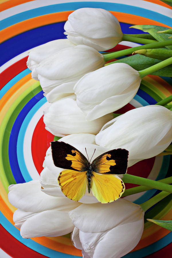 Dogface Butterfly Photograph - Dogface Butterfly On White Tulips by Garry Gay