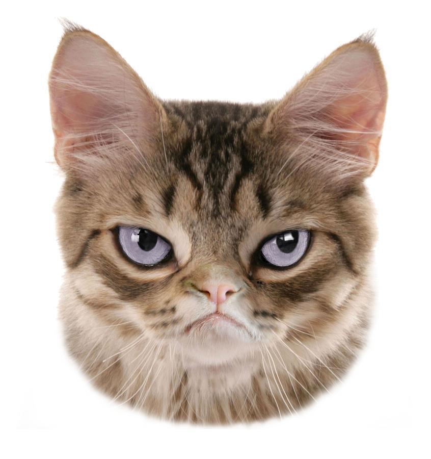 картинка голова кошки на белом фоне приглашения
