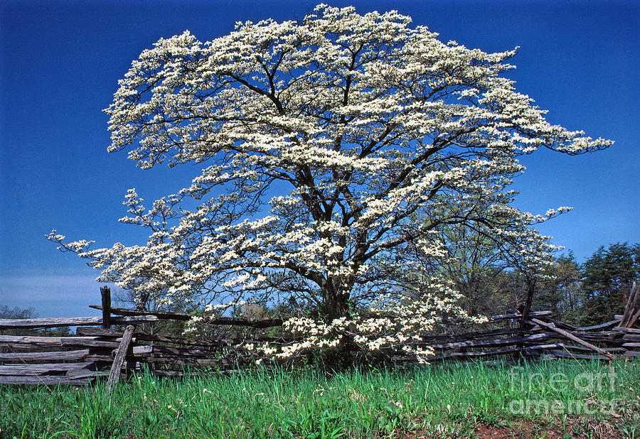 Dogwood Photograph - Dogwood And Rail Fence by Thomas R Fletcher