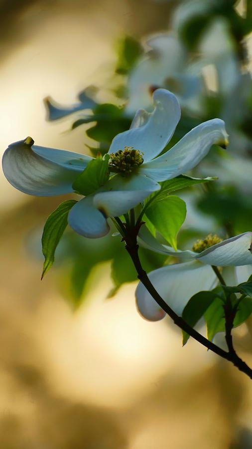 Dogwood at Sunset by Beth Akerman